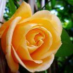 Primavera inglese, rorida e turgida Lady Hillingdon sorrideva aprendosi ai baci fugaci di un timido sole. #harmony #rose ain't #prose